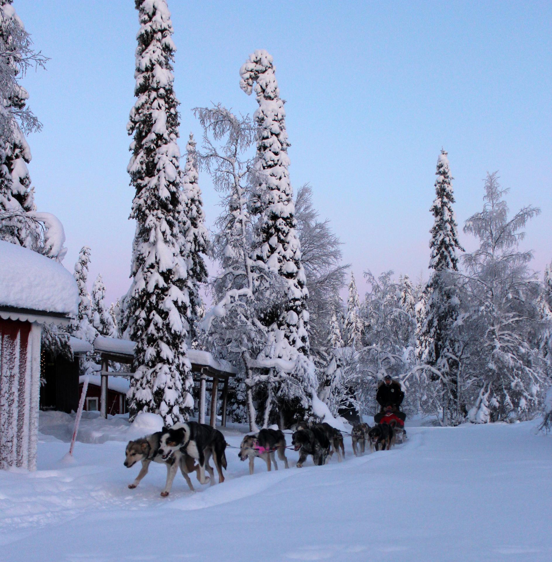 Tankavaaran Kultakylä Valjakko Marko Lauronen Visit Sompio